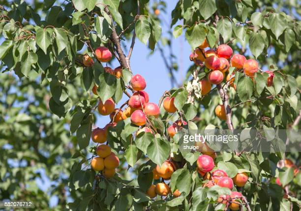 Apricot Trees in Xinjiang Province