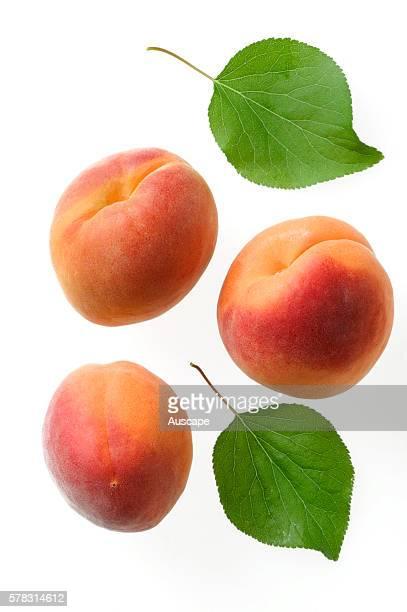 Apricots and their leaves Prunus armeniaca studio photograph