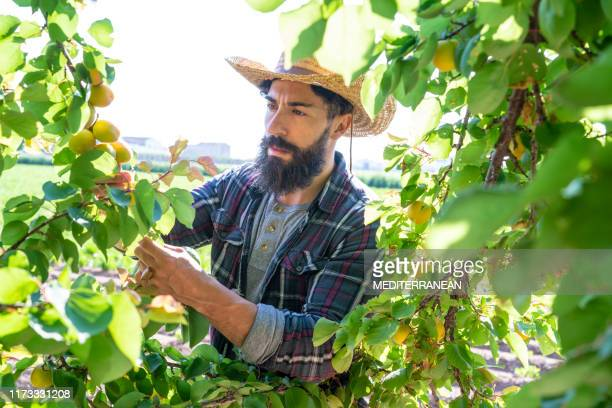 apricots fruit harvest farmer man - apricot stock pictures, royalty-free photos & images