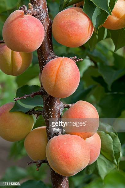 apricots fruit on tree - apricot tree stock pictures, royalty-free photos & images