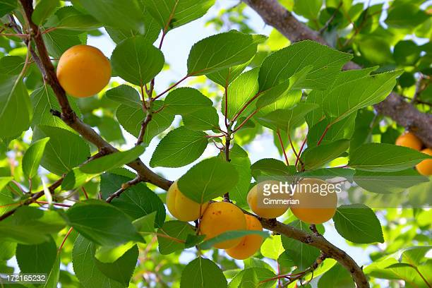 apricots on a branch - apricot tree stock pictures, royalty-free photos & images