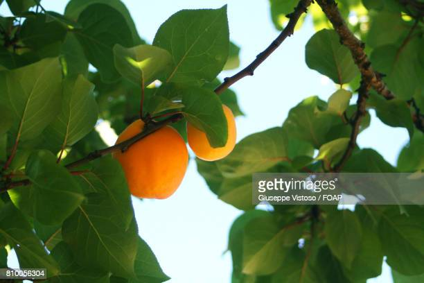 apricots on branch - apricot tree stock pictures, royalty-free photos & images