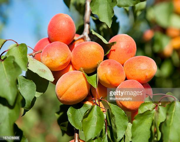 apricots on tree in provence - apricot tree stock pictures, royalty-free photos & images