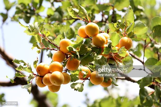 apricots - apricot tree stock pictures, royalty-free photos & images