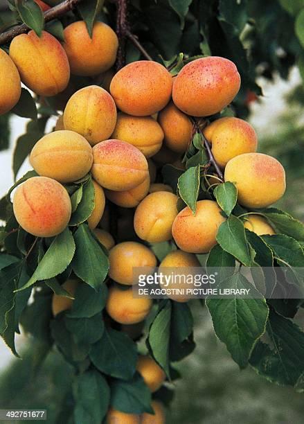 Apricots Rosaceae