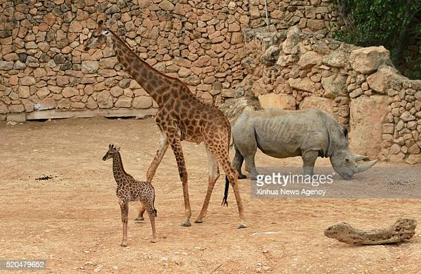 Rotem a fourweekold female South African giraffe calf stands near his mother at the Jerusalem Biblical zoo on April 10 2016