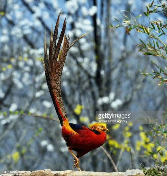 A golden pheasant is seen at Zhaocun Township of Lushan County central China's Henan Province March 25 2018