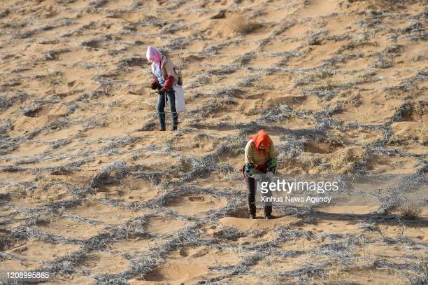 April 2, 2020. Workers plant hedysarum scoparium, a plant which can live in dry regions, in the Tengger Desert of Alxa Left Banner, north China's...