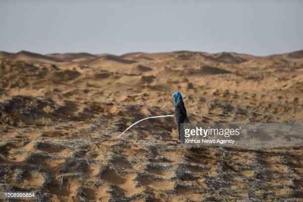 April 2, 2020.A worker waters hedysarum scoparium, a plant which can live in dry regions, in the Tengger Desert of Alxa Left Banner, north China's...