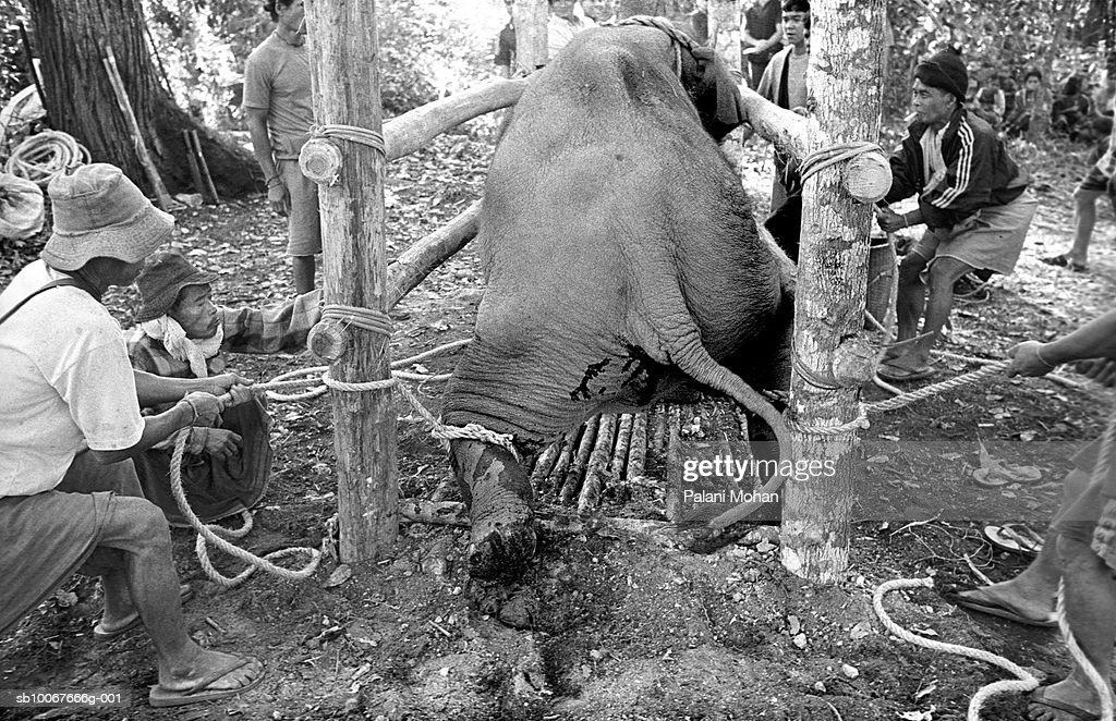 April 2002. A three-year-old elephant is hauled inside a bamboo cage by ethnic Karen people to be broken in April 2002 in Umpang, Thailand. The ordeal lasts three days and nights under the traditional method used by the Karen for hundreds of years. There are now less than 50,000 Asian elephants, both living in the wild and in captivity; a tiny number compared to their 600,000-strong African cousins. Some of the region's elephants still labour in jungle logging camps, alongside mahouts whose craft has been handed down through the generations. But with most nations having banned timber-felling, thousands of other beasts and their handlers have had to find another way to earn their living.