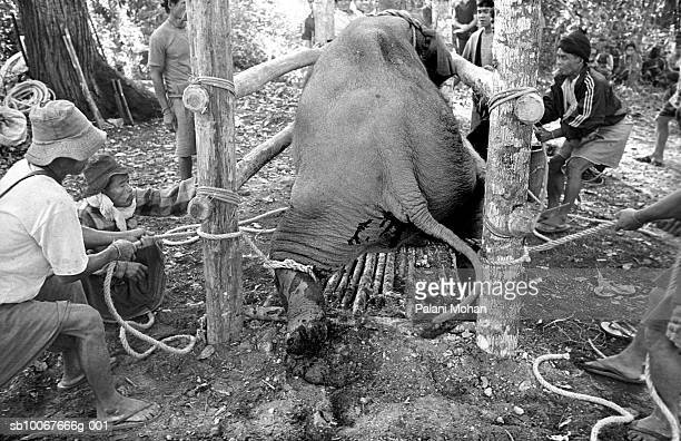 April 2002 A threeyearold elephant is hauled inside a bamboo cage by ethnic Karen people to be broken in April 2002 in Umpang Thailand The ordeal...