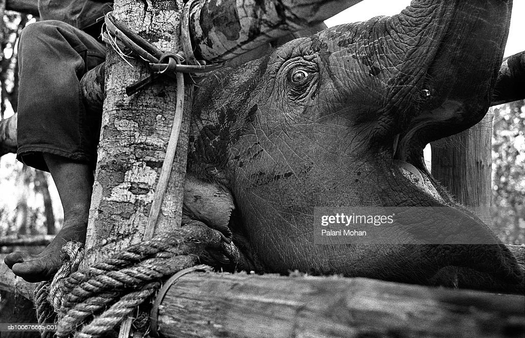 April 2002. A young elephant screams in agony during a three-day 'breaking in' ordeal carried out in the jungles of the Thai-Burma border by ethnic Karen people April 2002 in Umpang, Thailand. There are now less than 50,000 Asian elephants, both living in the wild and in captivity; a tiny number compared to their 600,000-strong African cousins. Some of the region's elephants still labour in jungle logging camps, alongside mahouts whose craft has been handed down through the generations. But with most nations having banned timber-felling, thousands of other beasts and their handlers have had to find another way to earn their living.
