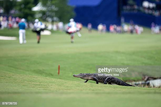 26 April 2015 An Alligator crosses the 18th fairway during the Zurich Classic at TPC Louisiana in Avondale Louisiana