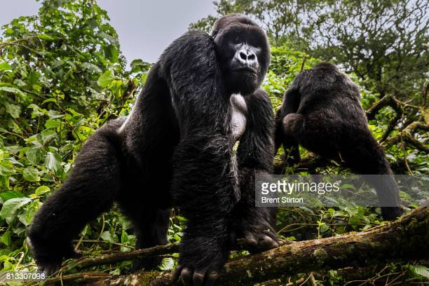 Two alpha male silverback mountain gorilla from the Mpua family seen in the Jomba rainforest Virunga National Park DRC