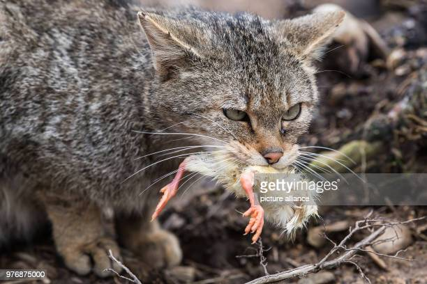 The twoyearold wildcat Clarence eating a dayold chick in an outdoor enclosure for wildcats The chicks are already dead when they are fed to the...