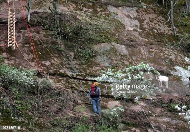 A white goat standing in a ledge in a steep quarry of a nature reserve while a member from the mountain rescue lowers himself down on a rope The wild...
