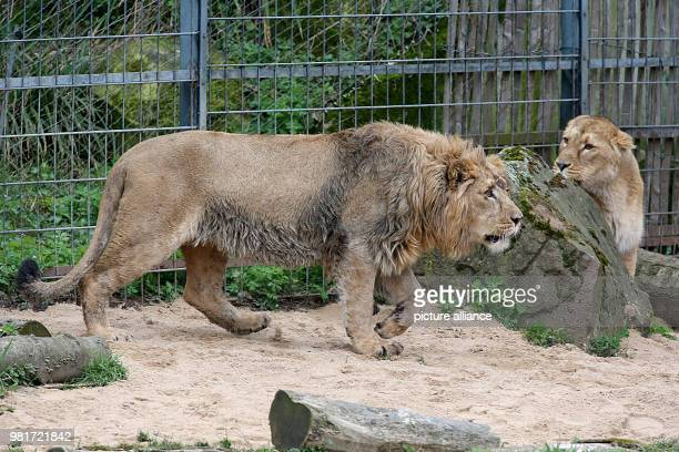 Lioness Gina looks at newbie Navin Young lion Navin was brought in from Aalborg in Denmark in early March Photo Oliver Berg/dpa