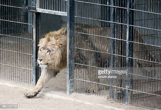 Newbie Navin enters the enclosure at Cologne Zoo Young lion Navin was brought in from Aalborg in Denmark in early March Photo Oliver Berg/dpa