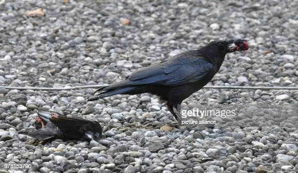 A black crow carrying the severed head of a dead pigeon in its beak Photo Peter Kneffel/dpa