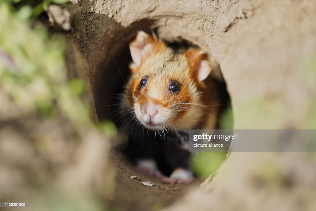DEU: Release Of Field Hamsters Into The Wild