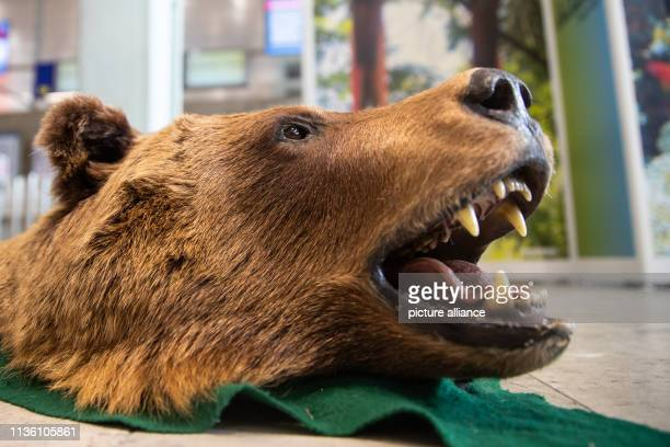 April 2019, Bavaria, Nürnberg: A bearskin with a head confiscated by customs is lying on a table at Nuremberg airport as part of a presentation by...