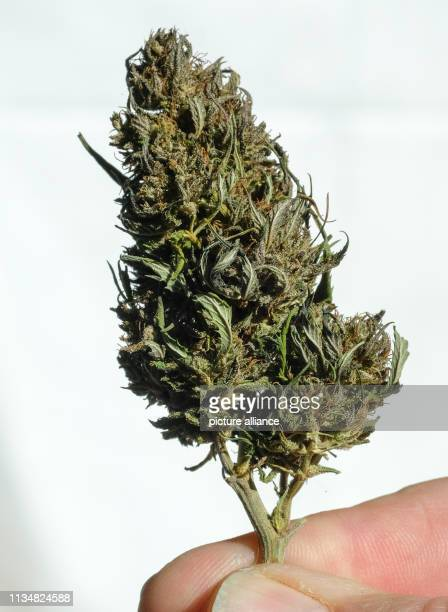 A dried hemp bud at the International Cannabis Business Conference ICBC at an exhibitor's stand Photo Jens Kalaene/dpaZentralbild/ZB