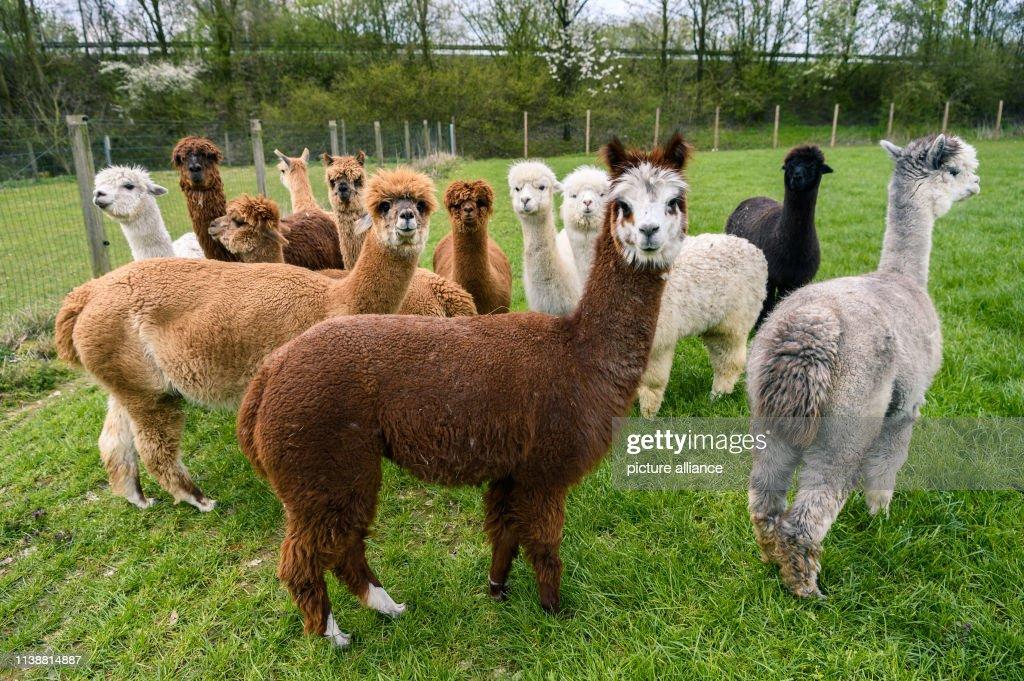 DEU: Walking With Alpacas