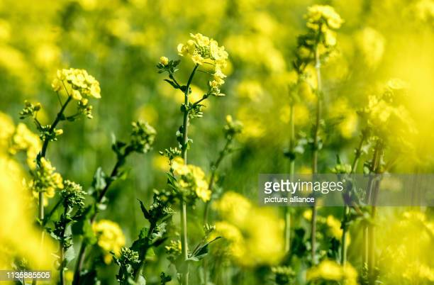 Rapeseed blooms in a field Photo HaukeChristian Dittrich/dpa