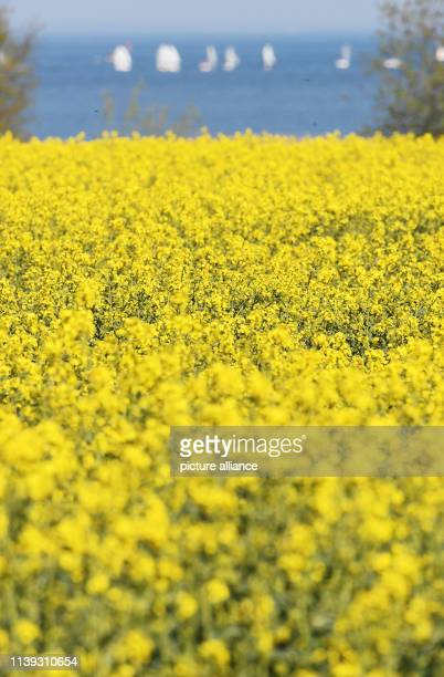 25 April 2019 MecklenburgWestern Pomerania Greifswald A bright yellow rape field blooms in the district of VorpommernGreifswald Photo Stefan...