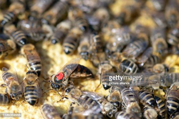 10 April 2019 North RhineWestphalia Remscheid Bees and the queen bee crawl into a hive In NRW prisoners become active in the fight against bee...