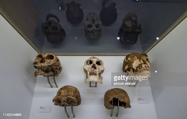 April 2019, Saxony, Chemnitz: Skull fragments of Homo erectus from East Africa, the Middle East and Eastern Europe can be seen in the State Museum of...