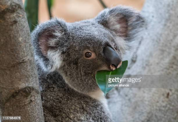 The koala female Sydney sits on a tree in her enclosure in the Prof Brandes house in the zoo The almost twoyearold female came from Antwerp Zoo to...