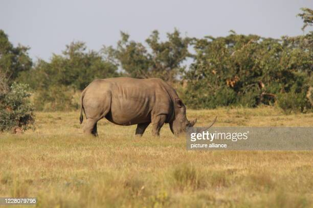 April 2019, South Africa, ---: A rhino in South Africa's private nature reserve Welgevonden in the Limpopo Province. Photo: Jürgen Bätz/dpa