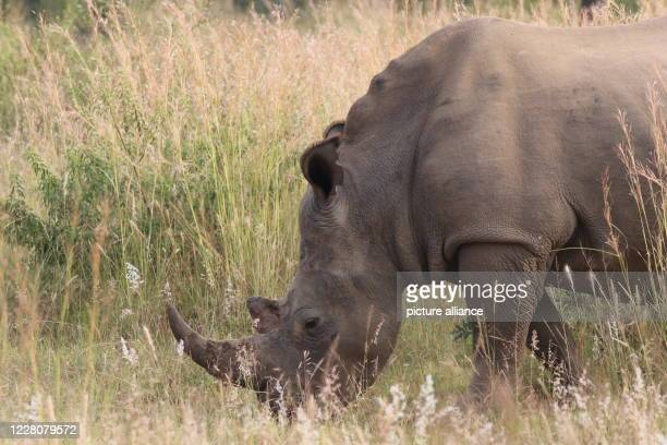 April 2019, South Africa, ---: A rhinoceros cow in South Africa's private nature reserve Welgevonden in the Limpopo province. Photo: Jürgen Bätz/dpa