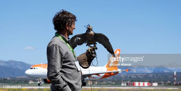 Pep Salom falconer from Palma de Mallorca airport stops a peregrine falcon near a runway Falcons are used at the airport to avert birds and thus...