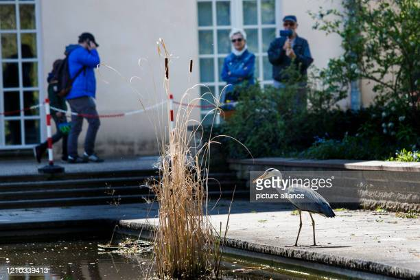 April 2020, Berlin: People are observing a grey heron in front of the castle in the Pankow castle park. In spring sunshine, many people go to the...