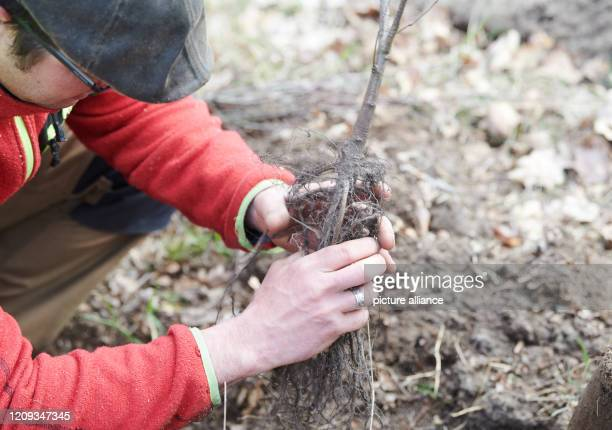 April 2020, Brandenburg, Märtensmühle: Marc Paulsen, managing director of Lebens-Räume, plants seedlings of hornbeam, winter linden, sycamore maple...
