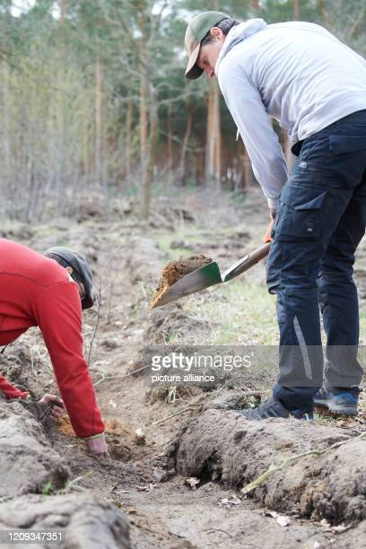 April 2020, Brandenburg, Märtensmühle: Marc Paulsen , Managing Director of Habitats and Gernot Kleinlein, entrepreneur, plant seedlings of hornbeam,...