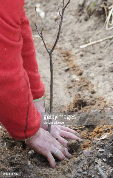 Marc Paulsen managing director of LebensRäume plants seedlings of hornbeam winter linden sycamore maple and English oak In a piece of woodland in...