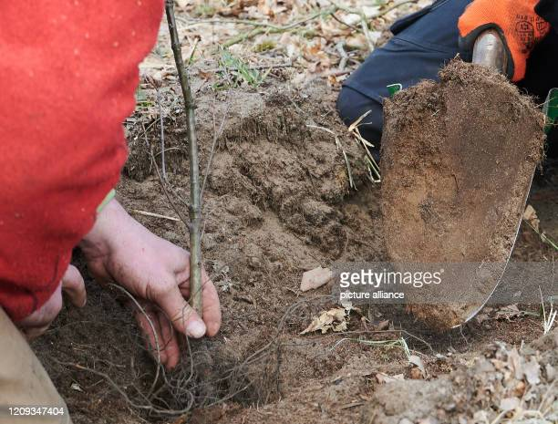Marc Paulsen Managing Director of Habitats and Gernot Kleinlein entrepreneur plant seedlings of hornbeam winter linden sycamore maple and English oak...