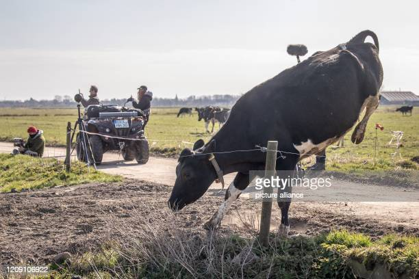 """April 2020, Lower Saxony, Brake: A cow jumps past a camera team during the grazing. """"Off to pasture!"""" - according to this motto the winter and stable..."""