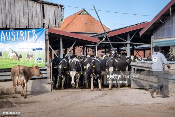 """April 2020, Lower Saxony, Brake: Cows are let out of the barn when they leave the pasture. """"Out to pasture!"""" - according to this motto, the winter..."""
