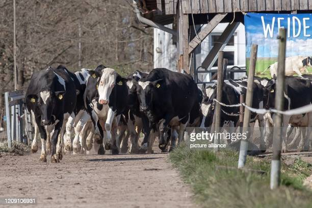 """April 2020, Lower Saxony, Brake: Cows go out to pasture close together. """"Out to pasture!"""" - according to this motto, the winter and stable time for..."""