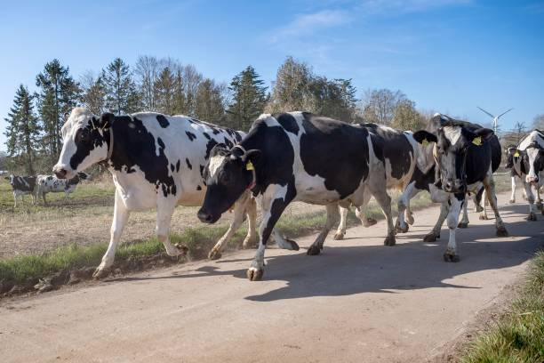 DEU: Off To The Pasture - Cows Greet Spring