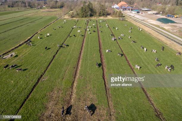 """April 2020, Lower Saxony, Brake: Cows stand on a large pasture after grazing . """"Off to the pasture!"""" - according to this motto the winter and stable..."""