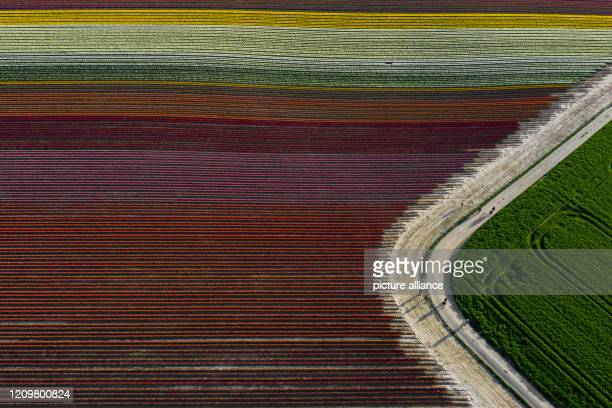April 2020, North Rhine-Westphalia, Grevenbroich: People walk along a path past numerous flowering coloured tulips in a field . The district offers...