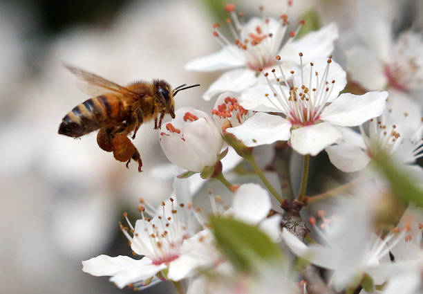 DEU: Bees Collect Nectar And pollinate Flowers