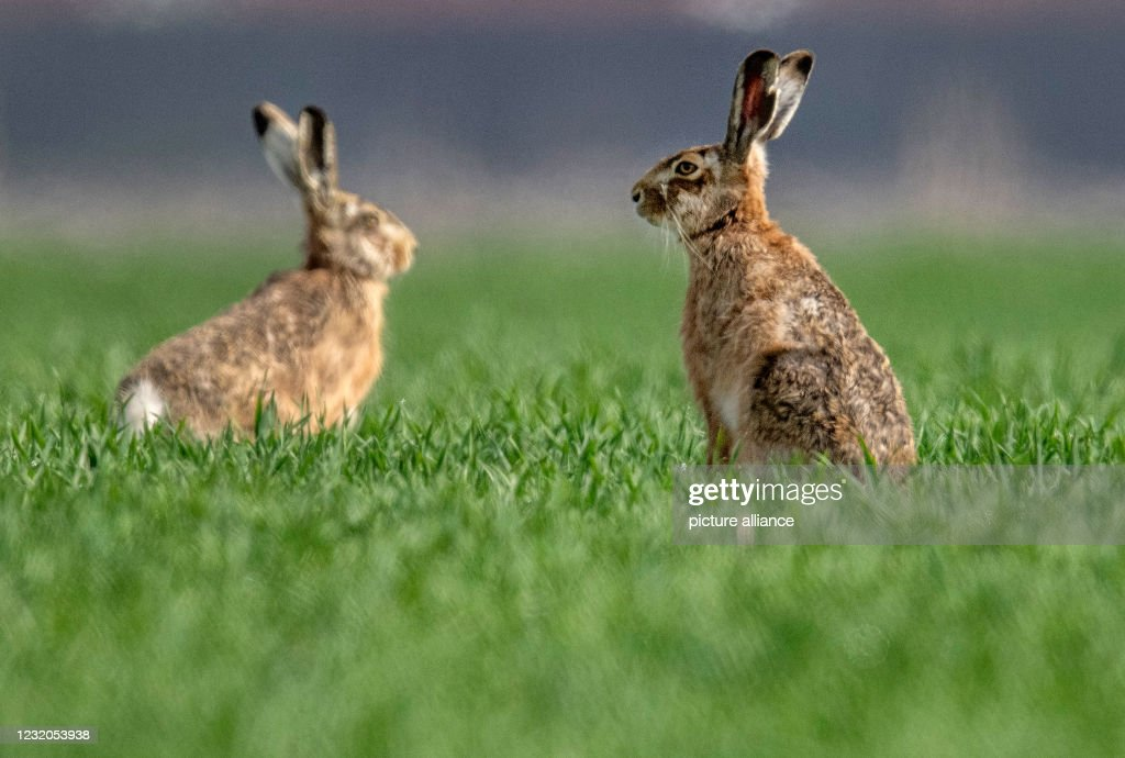 Hares : News Photo