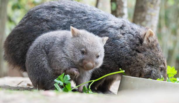 DEU: Wombat Offspring at Hanover Zoo
