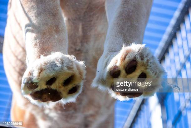 April 2021, Mecklenburg-Western Pomerania, Dassow: The strong front paws of the ten-year-old white lioness Ava can be seen when walking over the...